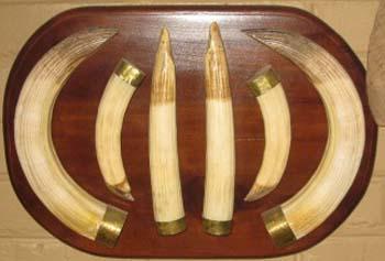 Hippo tusks on shield