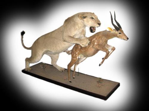 Lioness Full Mount attaching bushbuck