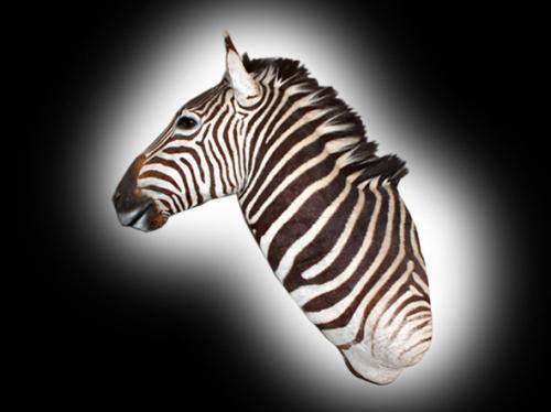 zebra shoulder